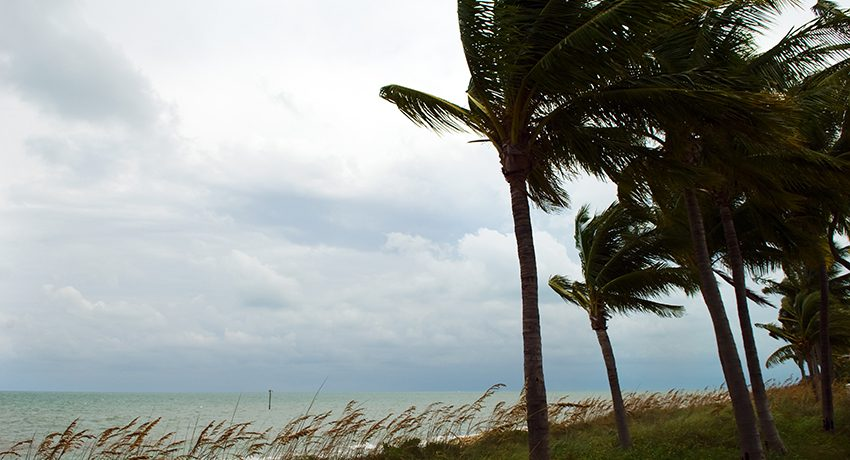 Palm trees blowing in high wind.